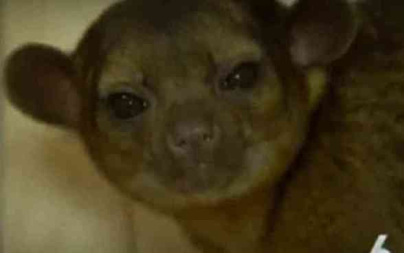 Banana the Kinkajou