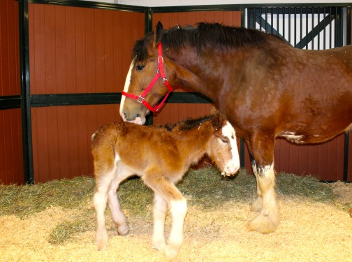 Mac the Newest Budweiser Clydesdale and his Mother