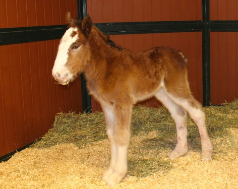Mac the Newest Budweiser Clydesdale
