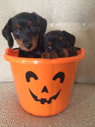 Halloween Dachshunds (Image via Pinterest)