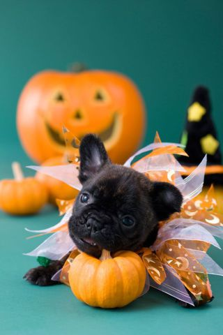Cute Halloween Puppy (Image via Country Living)