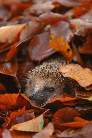 Hedgehog in Autumn (Image via Pinterest)