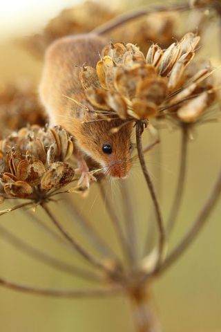 Field Mouse (Image via flickr)