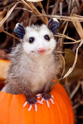 Opossum on Pumpkin (Image via Ellen)