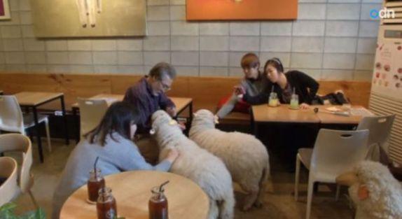Sheep Cafe (You Tube Image)