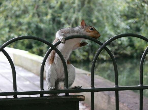 Gray Squirrel (Photo by Kunstlerbob/Creative Commons via Wikimedia)