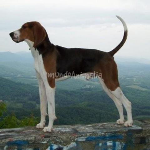 The American English Coonhound: image via mundoanimalia.com