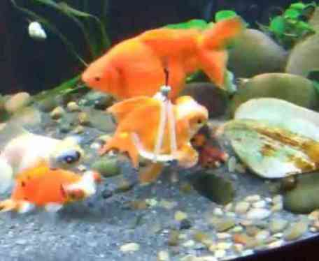 Goldfish in Buoyancy Device (You Tube Image)