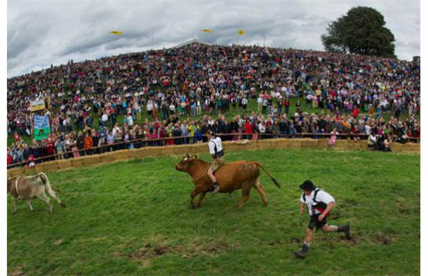 Jockeys ride the oxen while other participators chase behind to make them run to the finish line.: photo byAFP/Peter Kneffel