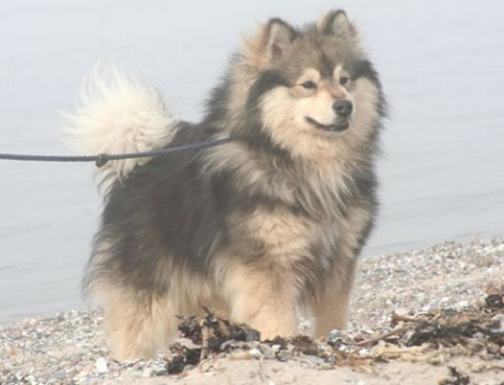 The Finnish Lapphund: image via finnishlapphund.ca