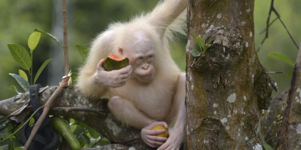 Rare Rescued Albino Orangutan Is Looking For A Safe Forest Island Home
