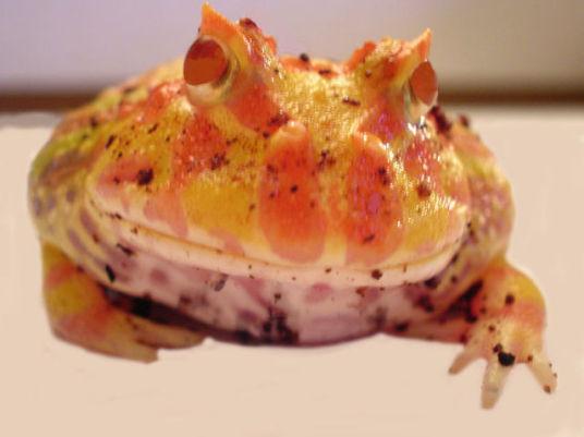 Pacman Frog (Public Domain Image)