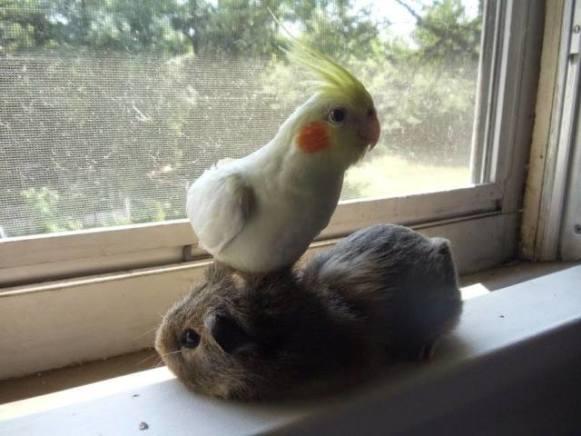 Guinea Pig and Cockatoo (Image via Facebook)