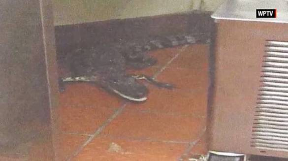 Alligator in Wendy's