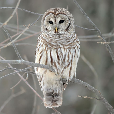 Barred Owl (Photo by Mdf/Creative Commons via Wikimedia)