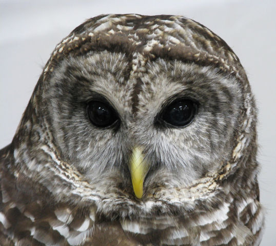 Barred Owl (Public Domain Image)