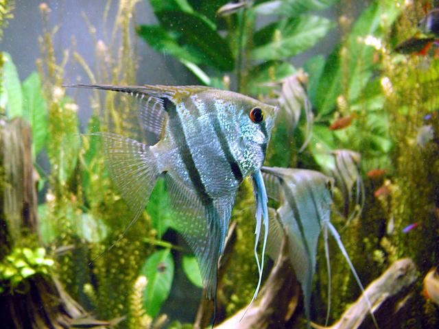 Angelfish. Photo by mendel, Wikipedia.