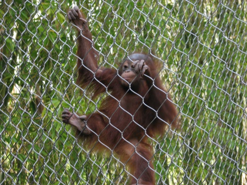 Animal rescues and wildlife preserves help save sick and injured orangutans