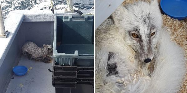 Starving Arctic Fox Rescued From Teetering Iceberg