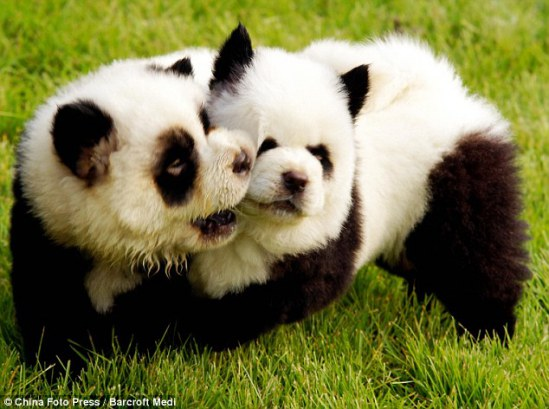 Pandas playing in the grass, it seems...: image via DailyMail.co.uk