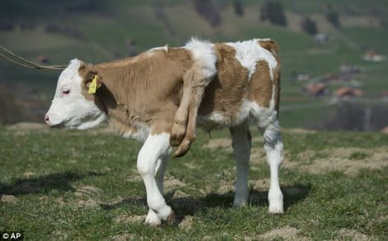 Lilli may be a bit of an oddball, but she's a happy calf: ©EPA via dailymail.co.uk