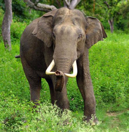 Asian Bull Elephant (Photo by Yathin S Krishnappa/Creative Commons via Wikimedia)