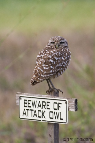Beware of Attack Owl (Image via Flickr)
