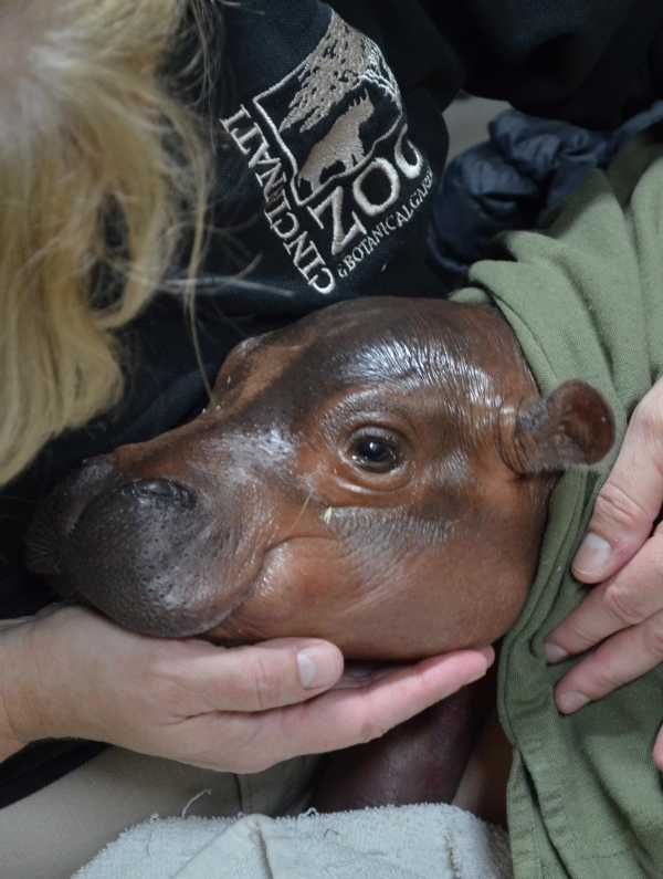 Preemie Baby Hippopotamus Has A Long Way To Grow