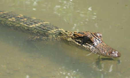 Juvenile Alligator (Public Domain Image)