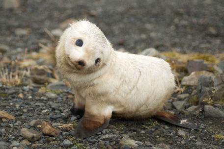 Baby Seal (Photo by Ville Miettinen/Creative Commons via Wikimedia)