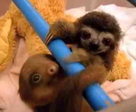 Baby Sloths (You Tube Image)