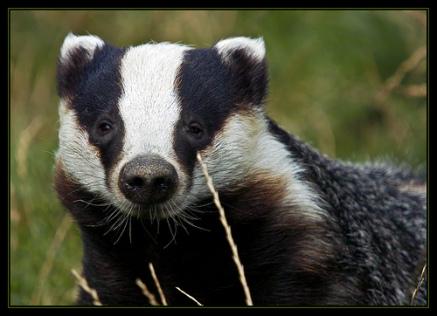 Badger (Public Domain Image)