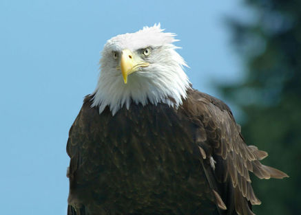 Bald Eagle (Photo by André Karwath/Creative Commons via Wikimedia)