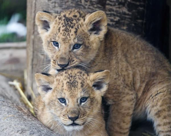 Newborn Barbary Lion Cubs Give Boost To Rare Lion Subspecies