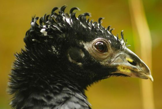 Bare-Faced Curassow (Photo by Christopher Gabbard/Creative Commons via Wikimedia)