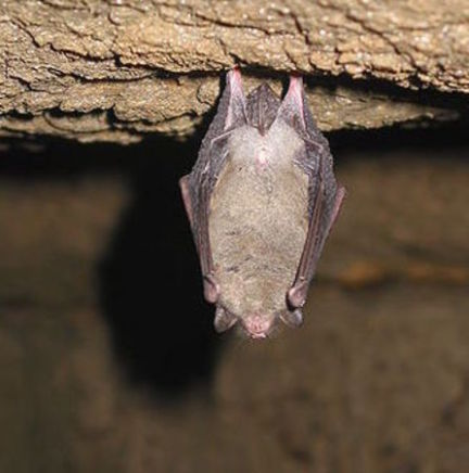 Bat (Photo by Keith Pomakis/Creative Commons via Wikimedia)