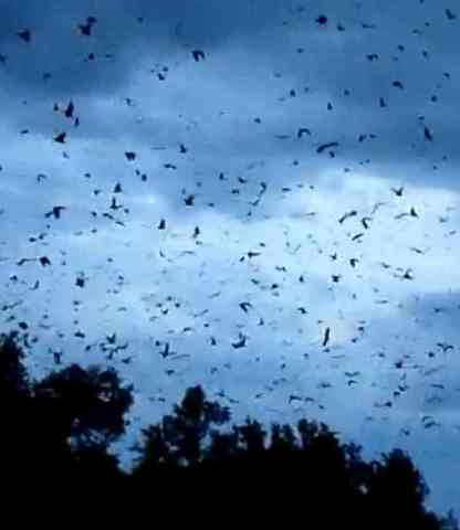 Fruit Bats Migrating in Kasanka National Park, Zambia (You Tube Image)