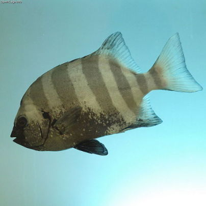 Striped Beakfish (Photo by opencage/Creative Commons via Wikimedia)