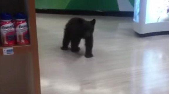 Bear Cub in Pharmacy (You Tube Image)