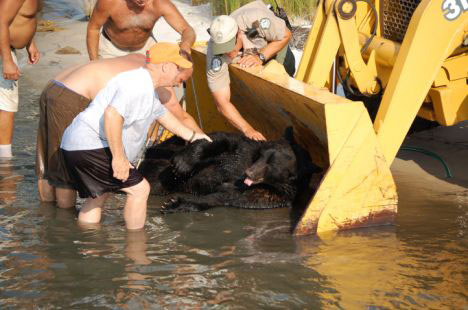 Black Bear Being Loaded For Transport (Image via Don't Poke The Bear)
