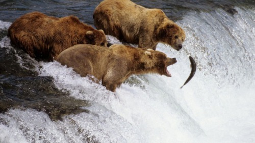 A Grizzly Fishing Trip