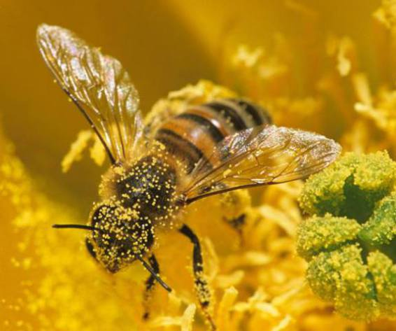 Busy Bee (Image via NRDC BioGems Defenders)