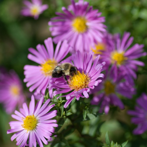 bees are attracted to asters