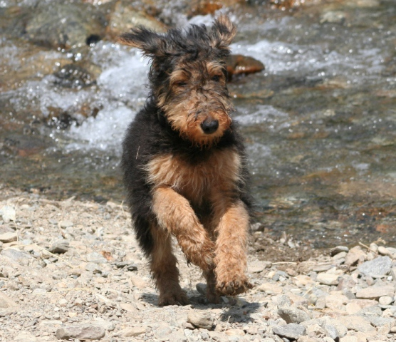 Airdale Terrier who could use a bear bell (Photo by  Franciaio/Creative Commons via Wikimedia)