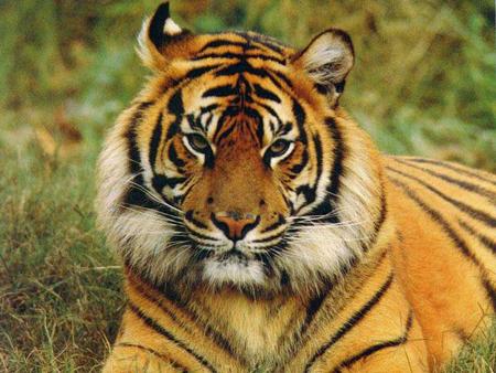 Bengal Tiger: Source: mygoodtraveladvice.com