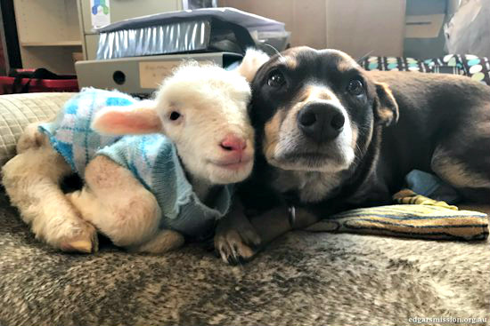 dog and lamb become best friends