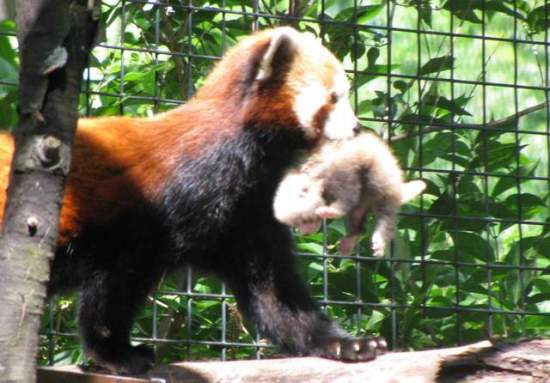 Mom red panda carries her cub to a nest box: photo via news-sentinel.com