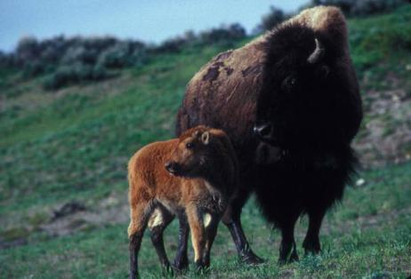 Bison mama and baby enjoying a spring day together