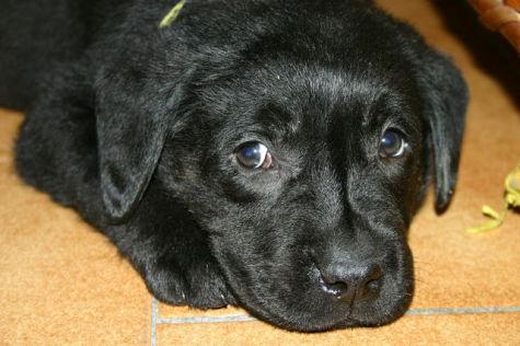 Black Labrador Puppy (Photo by António ML Cabral Esta/Creative Commons via Wikimeda)