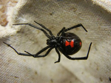 Black Widow Spider (Photo by Shenrich91/Creative Commons via Wikimedia)